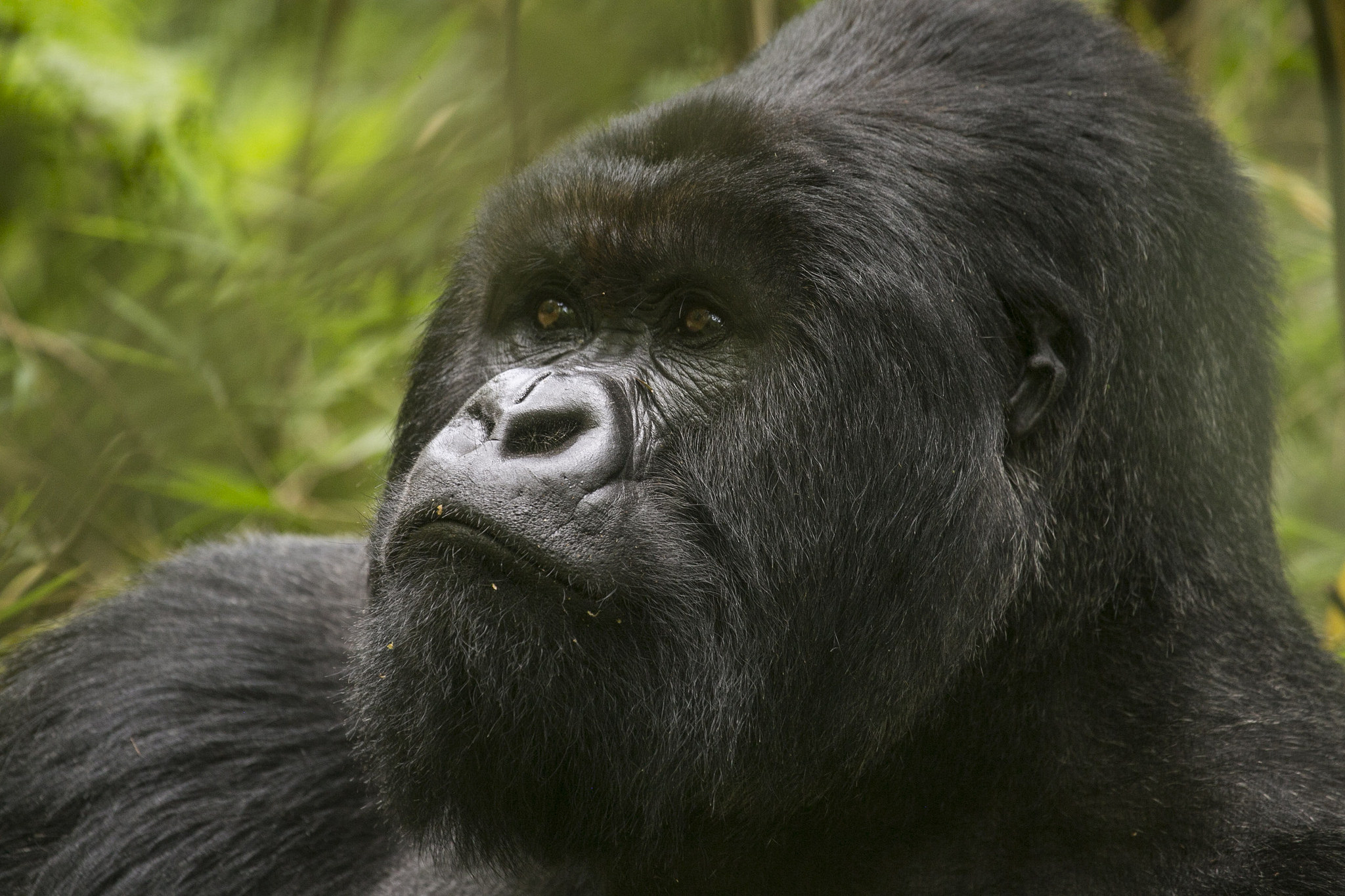 Bwindi Impenetrable National Park Gorilla